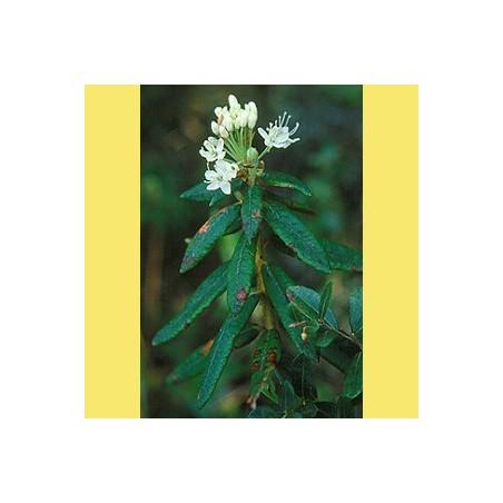 Lédon du groenland orgánico Aceite esencial 5ml - Aromathérapie Pranarom